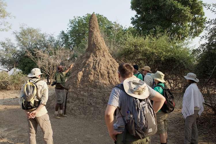 Wielka termitiera